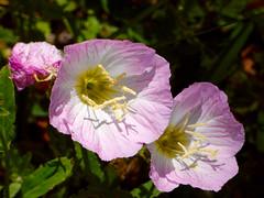 Pink Evening Primrose (M.P.N.texan) Tags: pink flower flowers flowering bloom blooms blooming texas wildflower wildflowers native