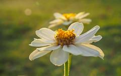 Flower Duet (ozkantayfun) Tags: flower yellow nature sun sunlight green flowers summer new garden