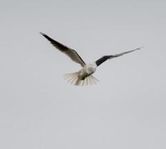 Black-shouldered Kite (Matt OZW) Tags: birds werribee