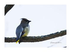 Cedar Waxwing In Spring (elpeterso69) Tags: cedarwaxwing heronhaven dsc05120 fauna wildlife nature wildbirds avian fowl lake pond wetland aquatic omahane nebraska midwest iowa