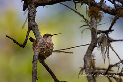Hummer Nesting (Birds and Other Cools Stuff!) Tags: hummingbird hummer cute tiny bird birding birder ornithology wildlife animal feathers fly aivan wild photography wildlifephotography nikon