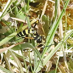 indet (6) (BSCG (Badenoch and Strathspey Conservation Group)) Tags: acm insect hymenoptera heathland sunshine april