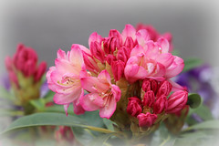 Rhododendron (frenziM´s little world) Tags: flower rododendron bokeh pink artisticmacro artistic artisticphotography fleur blume canoneos