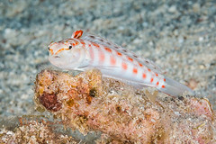 Redspotted Sandperch 4-24-2018 (Debra L Newbery) Tags: fish hawaii bigisland underwater sealife diving scubadiving sandperch redspottedsandperch