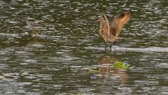 wings up (robinnestridge) Tags: marbledgodwit esquimaltlagoon greateryellowlegs
