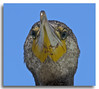 Great Cormorant (Bear Dale) Tags: red great cormorant close up ulladulla south coast new wales australia nikon d850 nikkor afs 70200mm f28e fl ed vr 200500mm f56e ngc national geographic bear dale