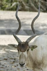 Addax (Addax nasomaculatus) (ucumari photography) Tags: ucumariphotography zoomiami miami florida fl animal mammal march 2018 addax addaxnasomaculatus dsc3638