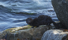 Mink (wild) - Fast and agile., just let him be (Ann and Chris) Tags: mink nature norway wildlife wild water sea mammal wet looking rock kvassheim canon7dmarkii