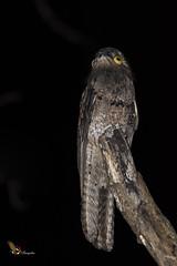 Common Potoo (fernaabs) Tags: nyctibius griseus common potoo pájaroestaca pájaropalo nictibiocomún caprimulgiformes aves fernaabs burgalin avesdecostarica nyctibiusgriseusnictibiocomúnpájaroestaca pájaropalor nyctibiidae