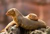 Zwergmangusten (Karl-Heinz + Alexandra) Tags: zoomerlebniswelt zwergmanguste tier gelsenkirchen säugetier