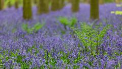 Blue & Green (Future-Echoes) Tags: 4star 2018 blue bluebells bokeh depthoffield dof eastlandwood essex ferns green langfordgrove trees wickhambishops woodland