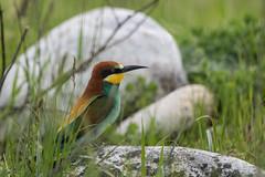 Gruccione - Merops apiaster (Alberto Piselli) Tags: salbanostura avifauna gruccione