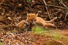 Fox cubs 9885(6D3) (wildlifetog) Tags: red fox cubs mbiow martin blackmore britishisles britain british isleofwight uk canon england european eos6d wild wildlife