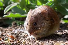 Nommin' away (PJ Swan) Tags: vole durham botanic gardens rodent tiny small furry cute soft
