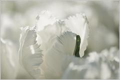 it's a white season ! (Make our PLANET great again !) Tags: fleurs flowers tulipes tulips printemps spring highkey nikon blanc white pétales petals