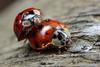 Loving feeling (Jacko 999) Tags: ladybug ladybird beetle beetles red spot spots mating sex canoneos5dsrmpe65mmf2815xmacrophotoƒ130650mm1100400flashon 5dsr 506mp ƒ130 650mm 1100 iso400 robert eede extreme canon eos mpe65mmmacro15x 65mm macro