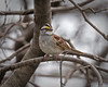 White-throated Sparrow (piano62) Tags: birds whitethroatedsparrow birdmigration spring2018 urbanwildlife urbannature chicago chicagoriver nikond750 tamron150600mmg2