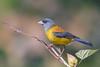 Patagonian Sierra-Finch / Phrygilus patagonicus / Cometocinos patagónico (cheloderus) Tags: cometocino patagonico chile osorno ave amarillo anaranjado birding bird finch wildlife nature