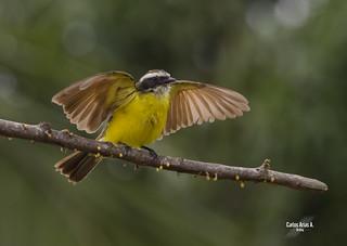 Soledad- Myiozetetes cayanensis- RUSTY- MARGINED FLYCATCHER