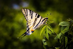 May the first weekend (CsiziPhoto) Tags: macro hungary butterfly nikond610 nikon panagor panagor90mmf28