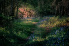 Light and Shade (gerainte1) Tags: woods woodlands trees green bluebells colour