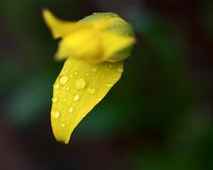 From the Rainy Sunday (Chancy Rendezvous) Tags: rainy rain water drops flower spring weather wet petals dof macro garden tulip osvorg oldsturbridge