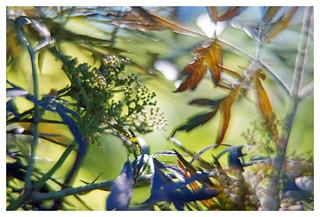 Im blauen Hollerbusch