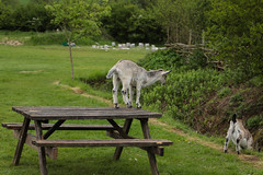 I Think a Head Butt is in Order (Meon Valley Photos.) Tags: i think head butt is order ngc rare breed goats butser ancient farm