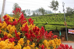 Munnar Flower Show (redchillihead) Tags: munnar flower show kerala india warren smart travels 2018