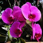 Toronto Ontario ~ Canada ~ Allan Gardens ~ Landmark Site ~ Historical Allan Gardens Conservatory ~ Orchids thumbnail