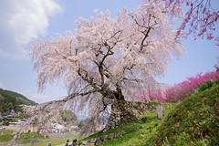 Weeping Cherry tree (tez-guitar) Tags: cherryblossom cherry weeping tree blossom bloom flower spring nara pentax pentaxart