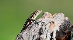 Rose-bellied lizard (justkim1106) Tags: lizard reptile texaslizard texaswildlife wildlife rosebelliedlizard fencepost texture woodtexture animal
