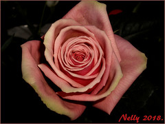 *Mama...Rose!* (MONKEY50) Tags: art rose mother nature digital plant pink flower 172017 spring pentaxart macro flickraward musictomyeyes autofocus netartii contactgroups macroelsalvador