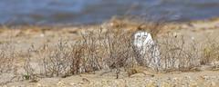 Snowy Owl (Natureholic001) Tags: snowyowl fowlerbeach delaware natureholic naimulislam birdsofdelaware birdsofnorthamerica owl avifauna birdsofprey