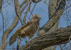 Great Horned Owlet. (Estrada77) Tags: greathornedowl owlet raptors distinguishedraptors birdsofprey wildlife birds birding nikon nikond500200500mm spring2018 may2018 illinois outdoors