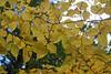 Autumn Colours (iansand) Tags: mttomah mounttomah autumn fall foliage colour leaves bluemountains