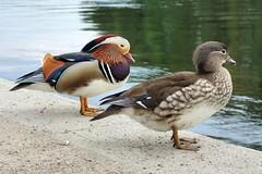 Neulich in Entenhausen (andtor) Tags: rx100 enten ducks mandarinente aixgalericulata mandarinduck