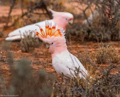 Major Mitchell's Cockatoo's (Mykel46) Tags: nature wildlife sony a7rmk3 100400mm pink red yellow white