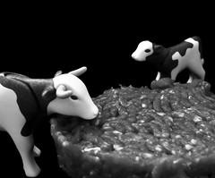 The calf says : « Who is it ? » (Charlotte P.Denoel) Tags: calf conceptuel fun plastic closeup grosplan monochrome composition toy playmobil jouet nourriture food beef bœuf cow vache meat macro steak viande bw blackandwhite nb noiretblanc