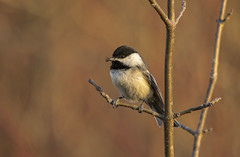 Black Capped Chickadee (Kevin Povenz Thanks for all the views and comments) Tags: 2018 april kevinpovenz westmichigan michigan canon7dmarkii sigma150500 ottawa ottawacounty ottawacountyparks grandriverpark jenison bird songbird chick chickadee nature wildlife outdoors outside insect dinner lunch breakfast food eating