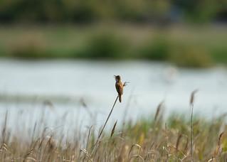 Great Reed Warbler 1DX28301.jpg
