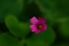 Macachin rosado / Oxalis hispidula (georgina e.s) Tags: macachinrosado oxalishispidula oxalidaceae nativa native sudamerica floradebuenosaires