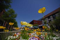 20180506_130004_15_v1L_4K+ (jmi.eck) Tags: fleurs printemps flower springs pentaxk1 irixblackstone15mmf24 aficionados proxiphotographie wideangle