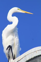 IMG_7946 (Usagi93190) Tags: great egret fort desoto fishing pier st petersburg florida gulf mexico wildlife bird watching nature outdoors