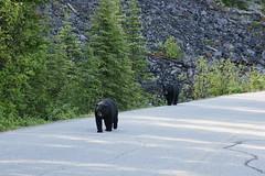 OpalHiills00005 (jahNorr) Tags: summertrip 2012 animalswildlifebears canadaalbertajaspernationalparkmalignecanyonroad
