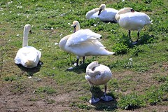 Swans J78A0496 (M0JRA) Tags: birds flight flying wildlife rats walks gardens parks fields trees lakes ponds ducks swans rspb