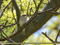 Chestnut-Shouldered Sparrow (Petronia xanthocollis) (gilgit2) Tags: avifauna birds canon canoneos7dmarkii category chestnutshoulderedsparrowpetroniaxanthocollis fauna feathers geotagged imranshah khushab location pakistan punjab species tags tamron tamronsp150600mmf563divcusd uggali wildlife wings gilgit2 petroniaxanthocollis