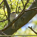 Chestnut-Shouldered Sparrow (Petronia xanthocollis)