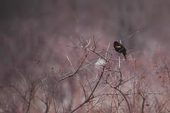 Red Winged Black Bird (Modkuse) Tags: blackbird nikon nikonn90s film tokina tokinaaf2870mmf2628 fujichrome fujifilm fujichromevelvia velvia bird creatures nature natural slide slidefilm transparency
