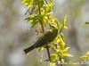 Paruline a Ailes Bleues / Blue-winged Warbler (proxy46) Tags: 200500mm2018 magesmarsh nikon paruliine parulineaailesbleues d500 oiseau oakharbor ohio étatsunis us
